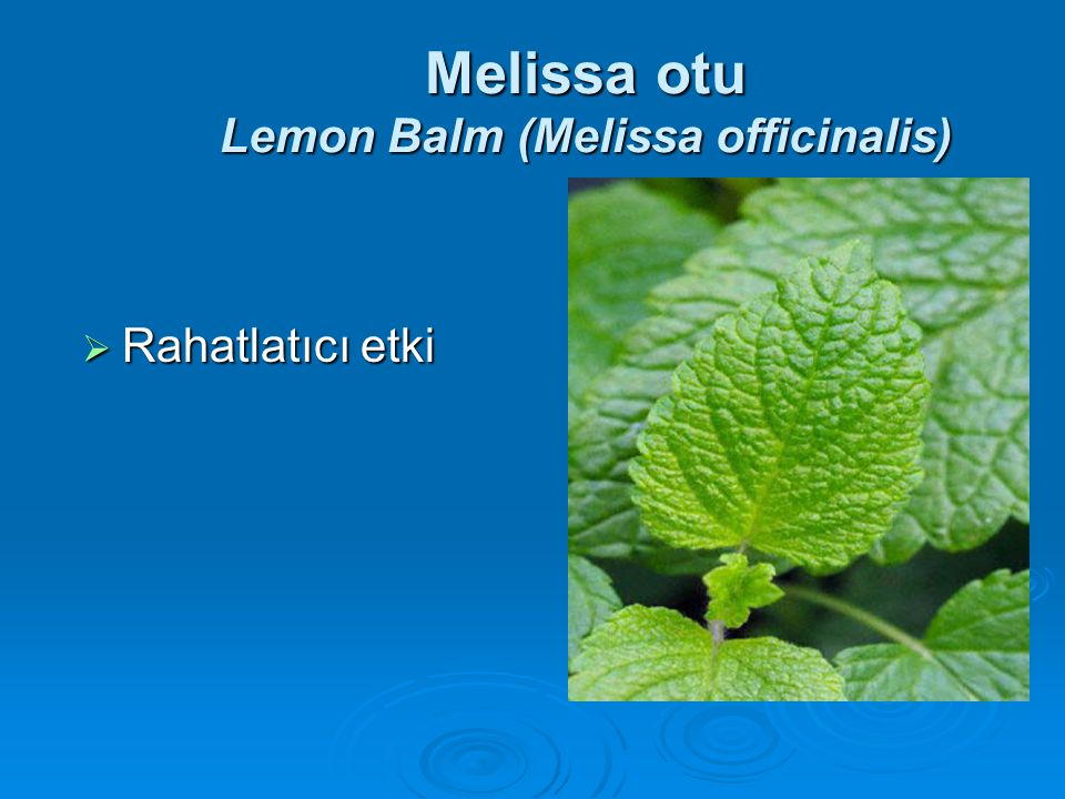 Melissa otu Lemon Balm (Melissa officinalis)