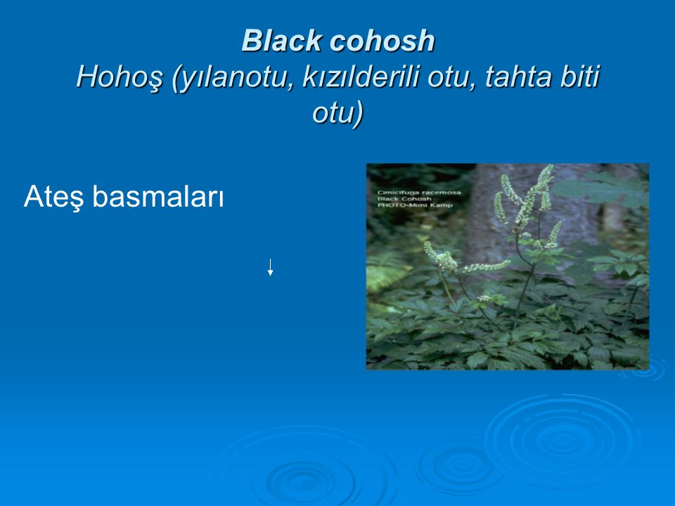 Black cohosh Hohoş (yılanotu, kızılderili otu, tahta biti otu)