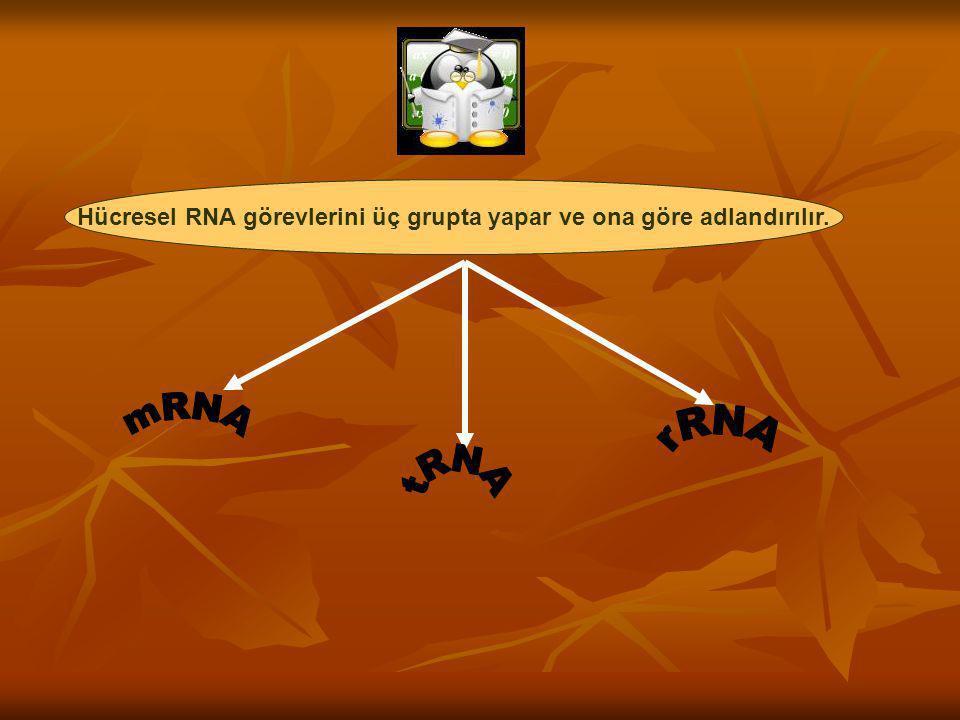 Hücresel RNA görevlerini üç grupta yapar ve ona göre adlandırılır.