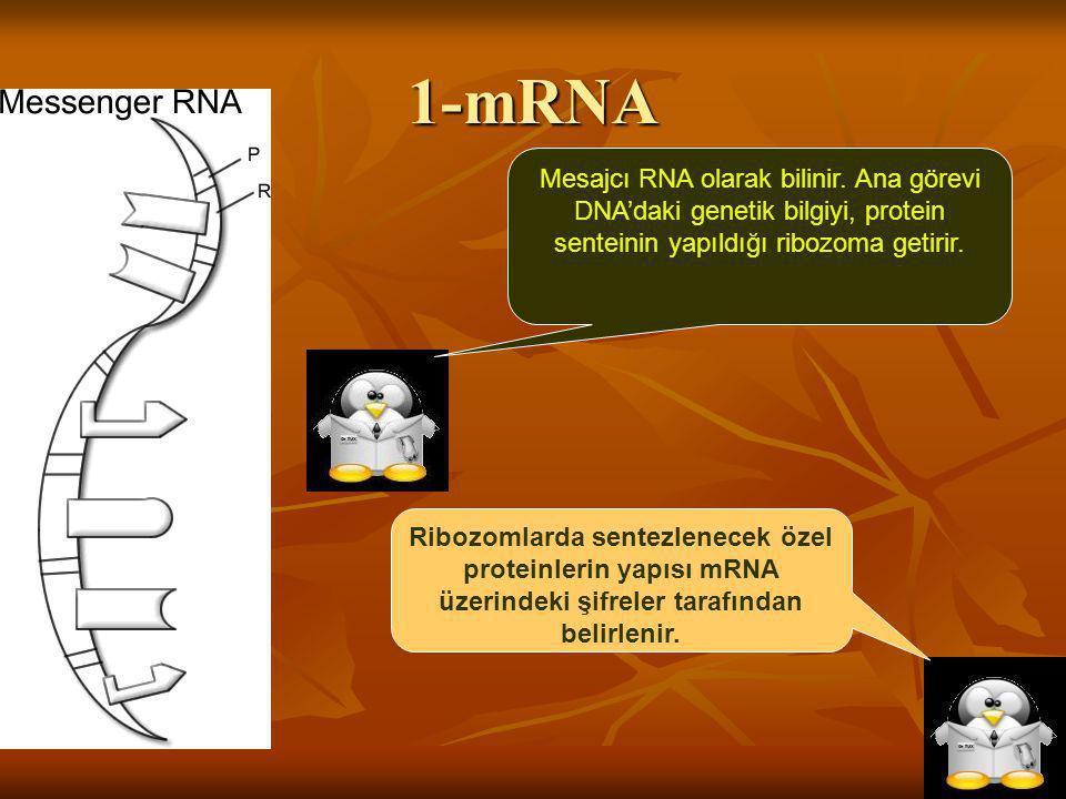 1-mRNA Mesajcı RNA olarak bilinir. Ana görevi DNA'daki genetik bilgiyi, protein senteinin yapıldığı ribozoma getirir.
