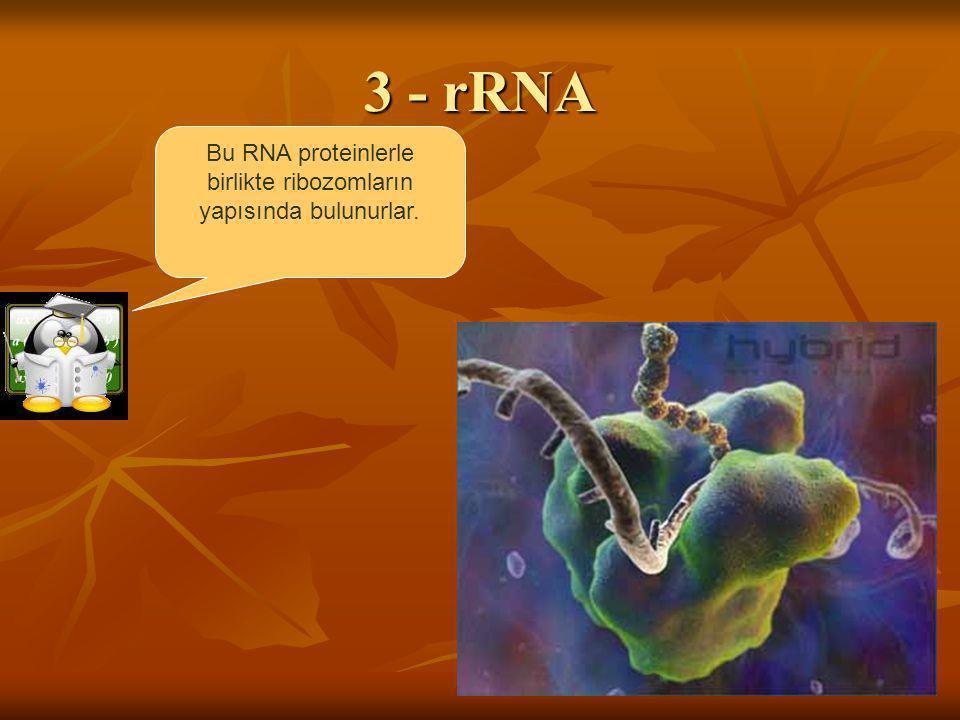 Bu RNA proteinlerle birlikte ribozomların yapısında bulunurlar.