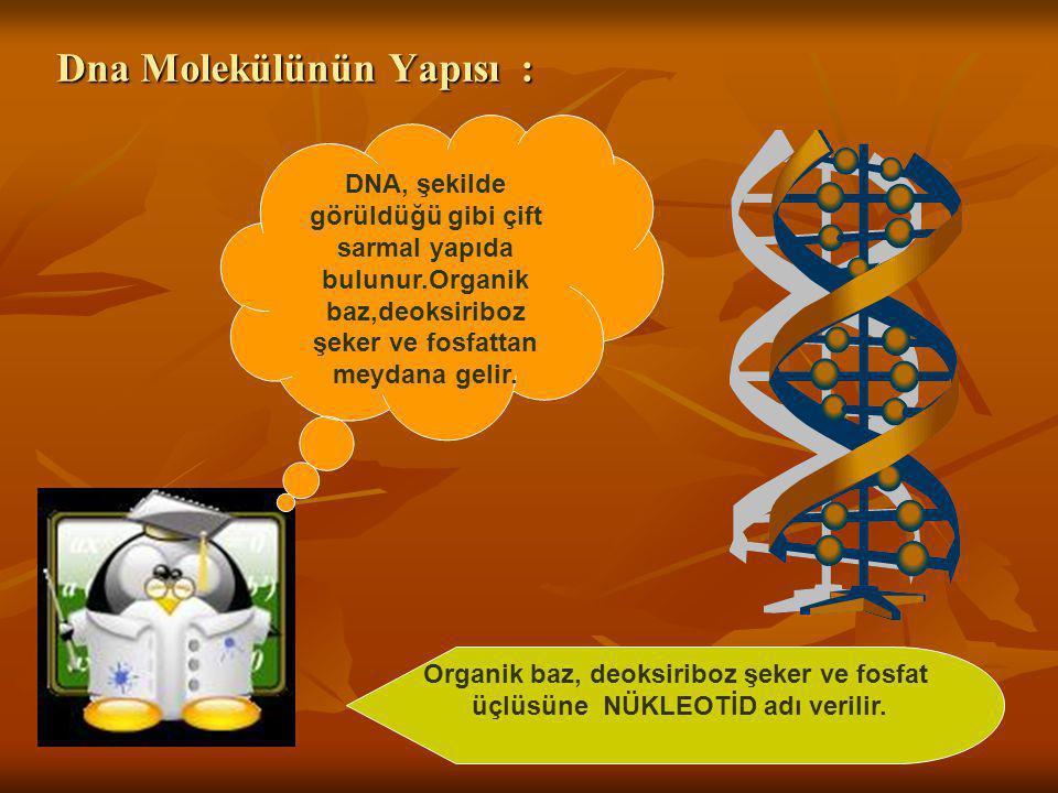 Dna Molekülünün Yapısı :