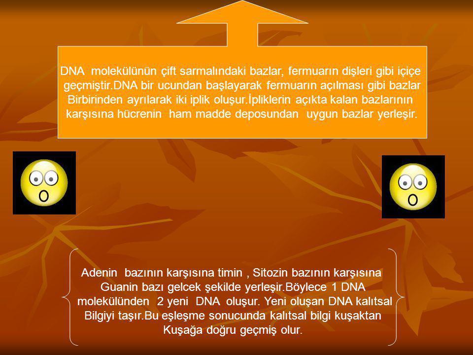 DNA molekülünün çift sarmalındaki bazlar, fermuarın dişleri gibi içiçe