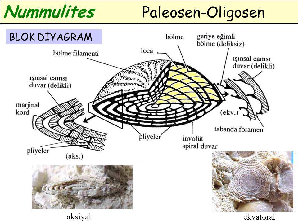 Nummulites Paleosen-Oligosen