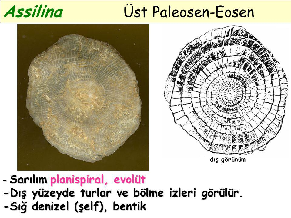 Assilina Üst Paleosen-Eosen