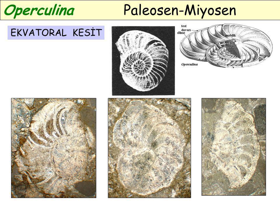 Operculina Paleosen-Miyosen
