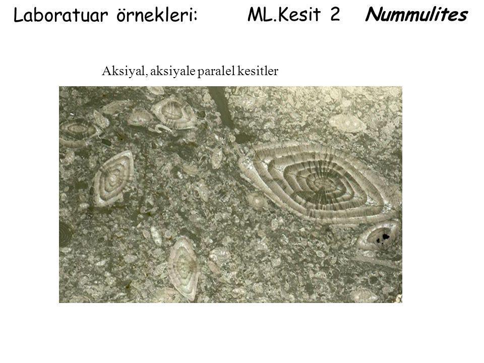 Laboratuar örnekleri: ML.Kesit 2 Nummulites