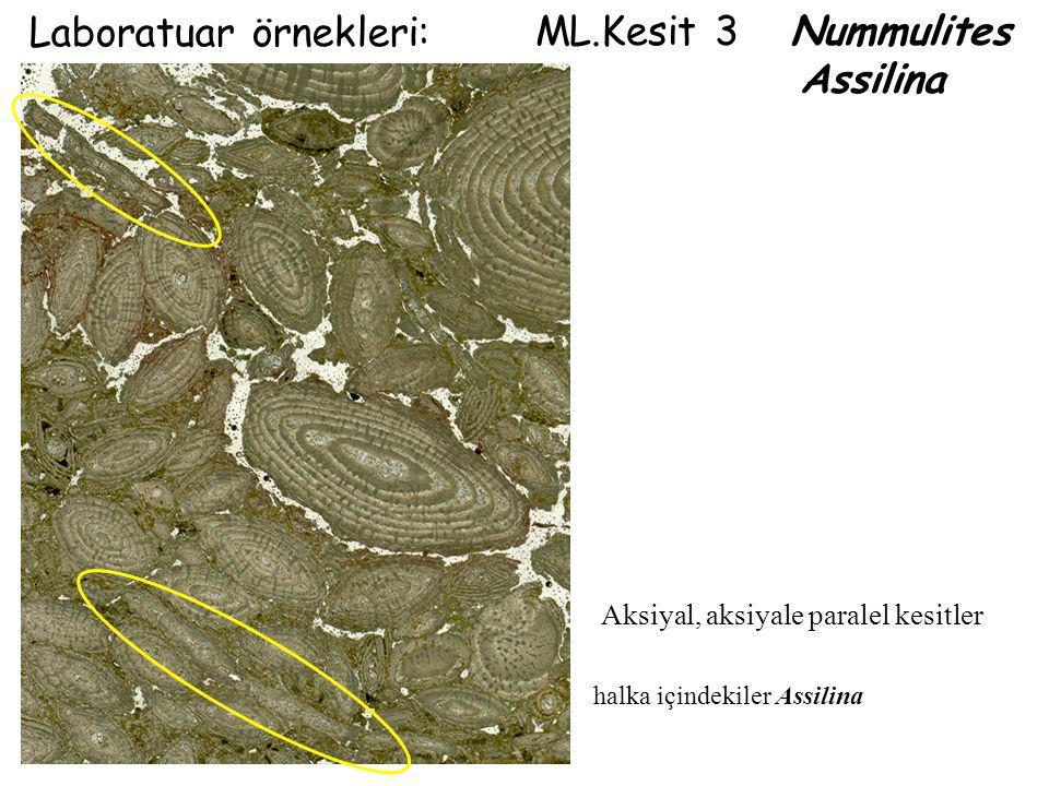 Laboratuar örnekleri: ML.Kesit 3 Nummulites Assilina
