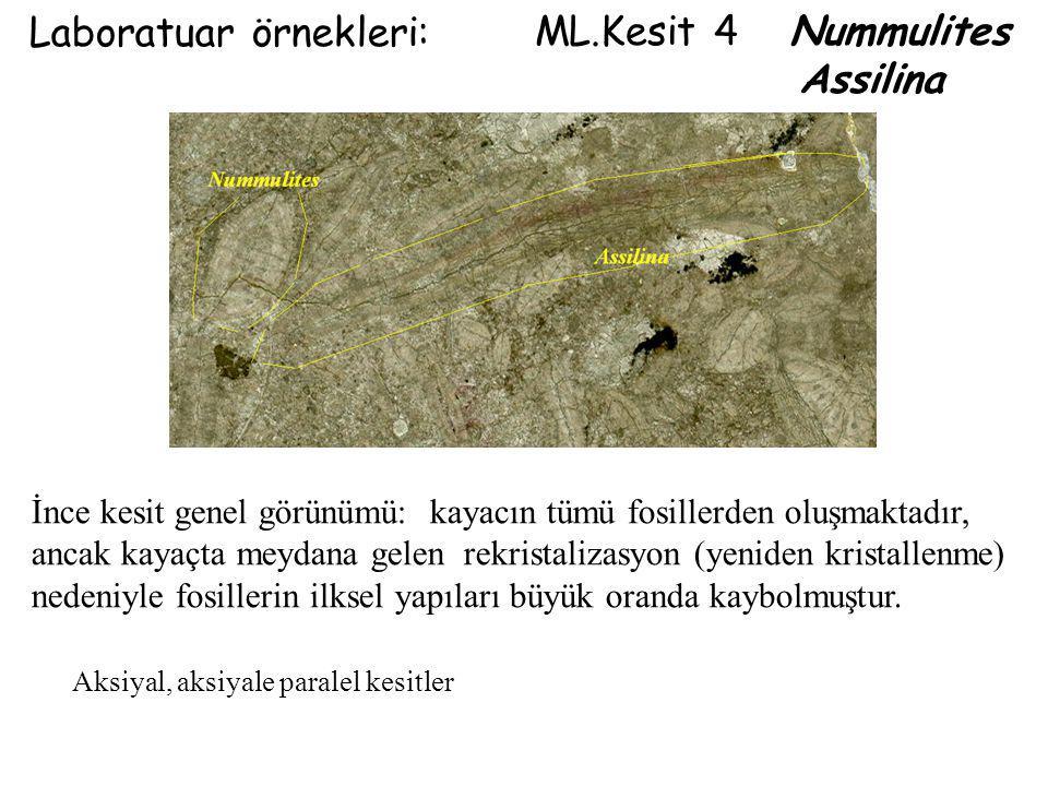 Laboratuar örnekleri: ML.Kesit 4 Nummulites Assilina