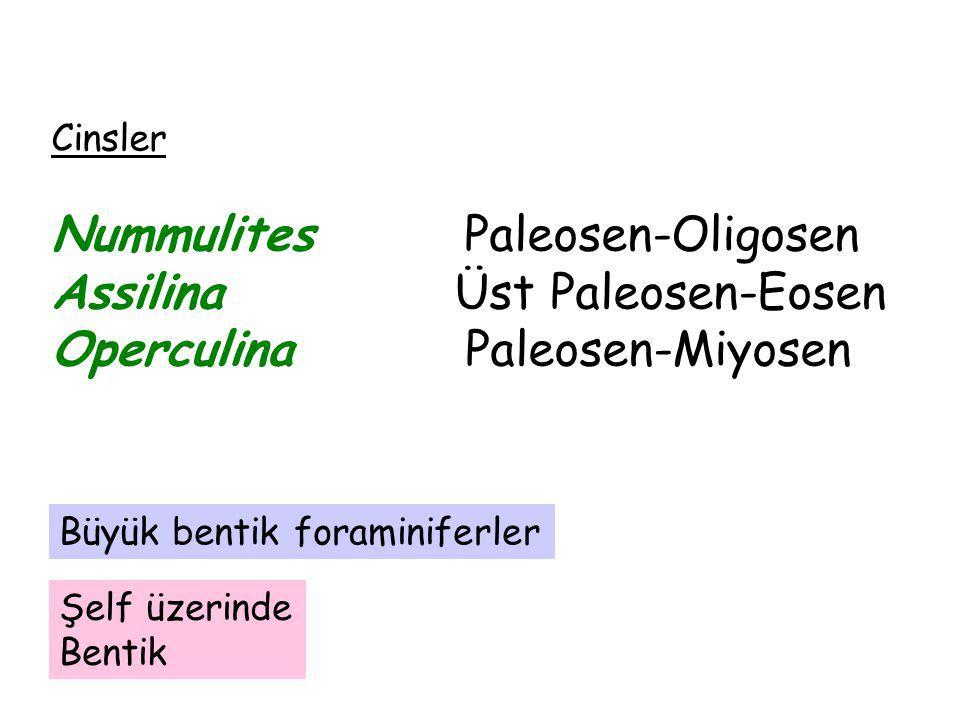 Nummulites Paleosen-Oligosen Assilina Üst Paleosen-Eosen