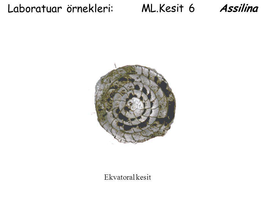 Laboratuar örnekleri: ML.Kesit 6 Assilina