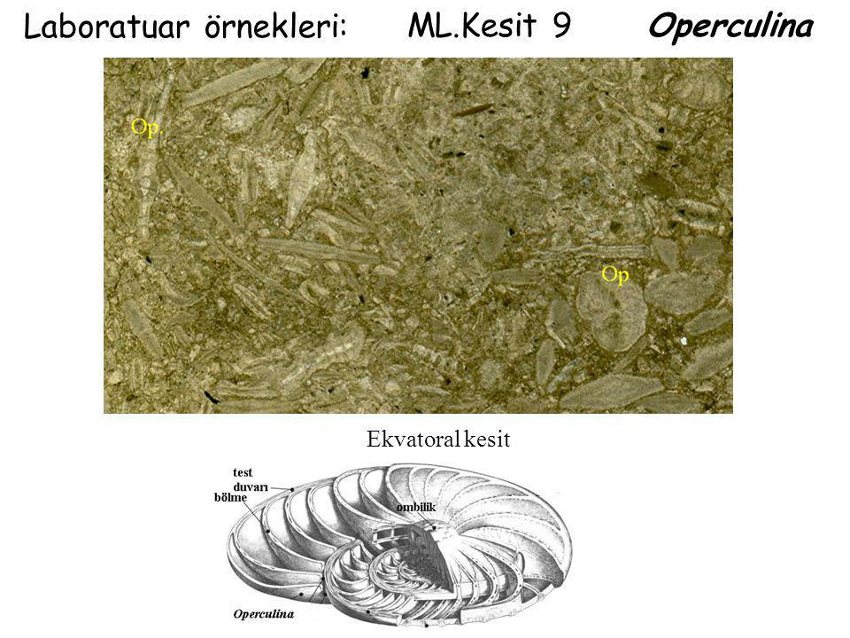 Laboratuar örnekleri: ML.Kesit 9 Operculina