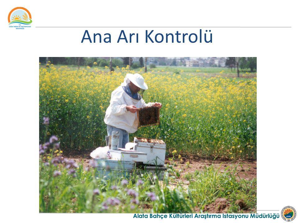 Ana Arı Kontrolü