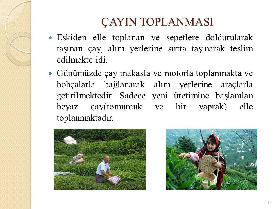 ÇAYIN TOPLANMASI Eskiden elle toplanan ve sepetlere doldurularak taşınan çay, alım yerlerine sırtta taşınarak teslim edilmekte idi.