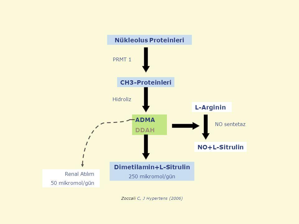 Nükleolus Proteinleri Dimetilamin+L-Sitrulin