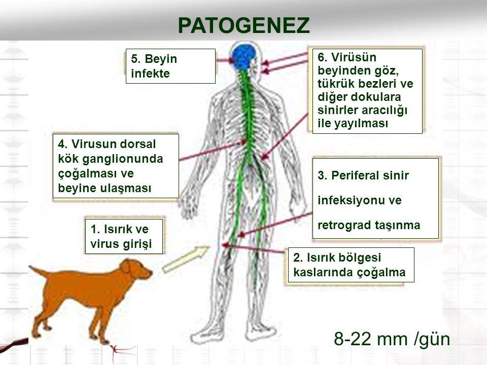 PATOGENEZ 8-22 mm /gün 5. Beyin infekte