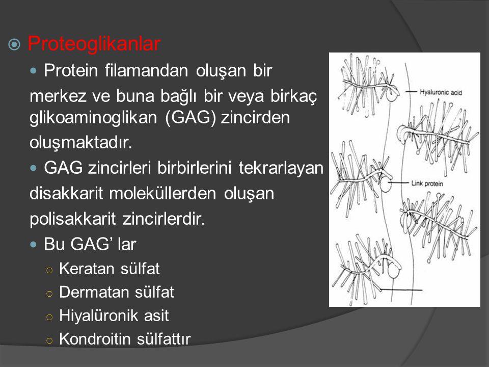 Proteoglikanlar Protein filamandan oluşan bir