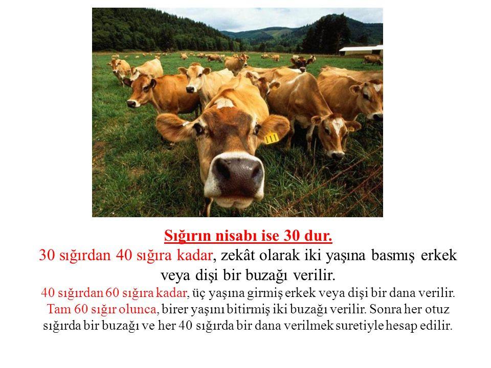 Sığırın nisabı ise 30 dur. 30 sığırdan 40 sığıra kadar, zekât olarak iki yaşına basmış erkek veya dişi bir buzağı verilir.