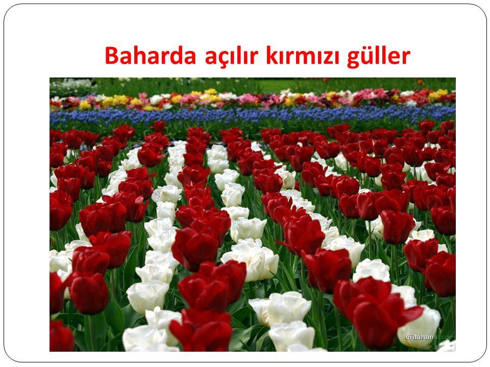 Baharda açılır kırmızı güller