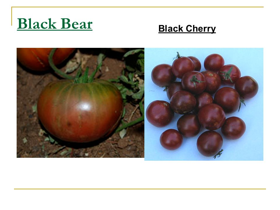 Black Bear Black Cherry