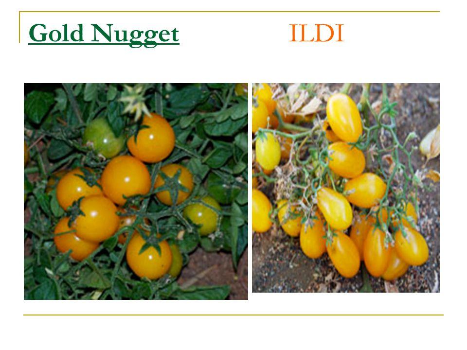 Gold Nugget ILDI