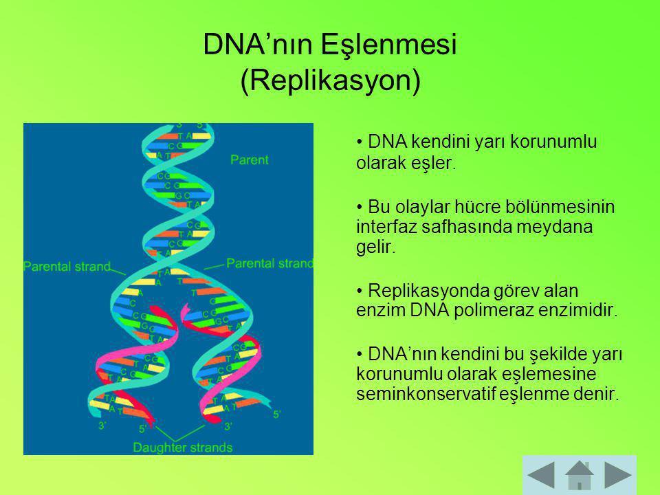 DNA'nın Eşlenmesi (Replikasyon)
