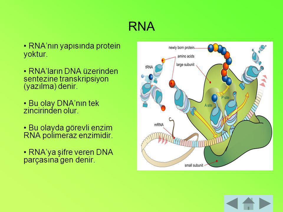RNA • RNA'nın yapısında protein yoktur.