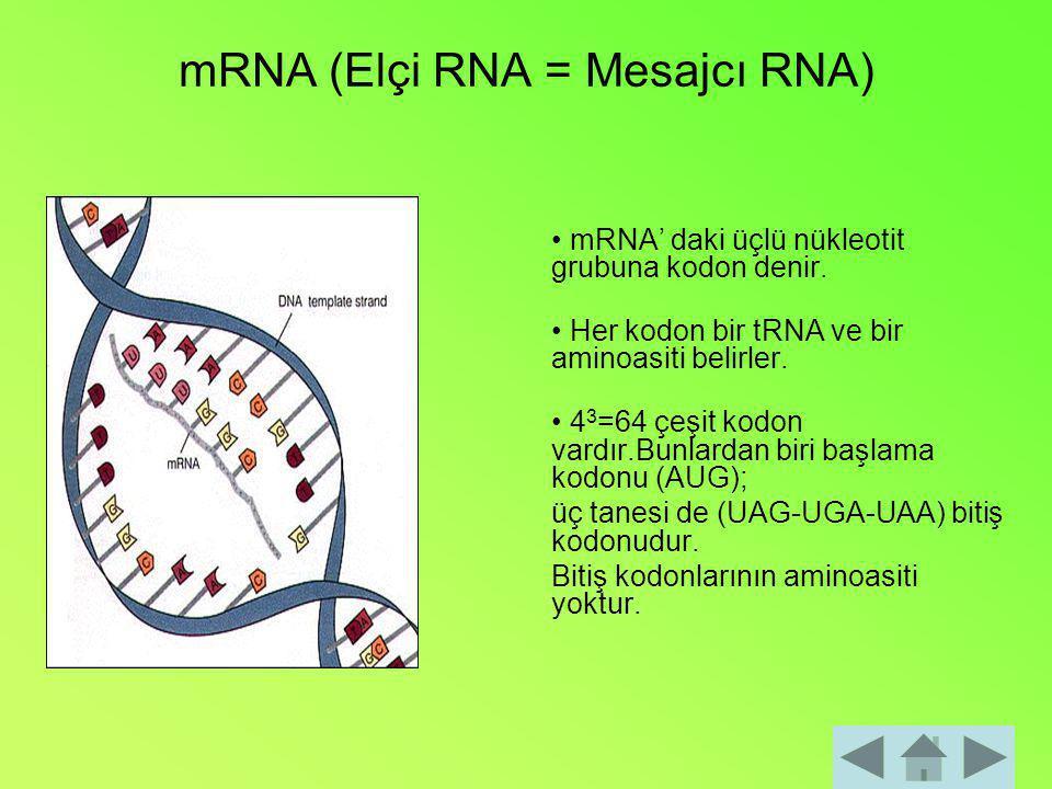 mRNA (Elçi RNA = Mesajcı RNA)