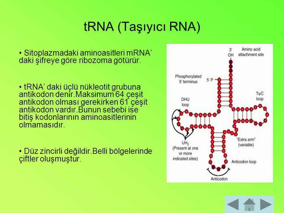 tRNA (Taşıyıcı RNA) • Sitoplazmadaki aminoasitleri mRNA' daki şifreye göre ribozoma götürür.
