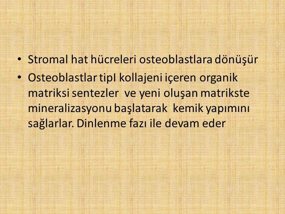 Stromal hat hücreleri osteoblastlara dönüşür