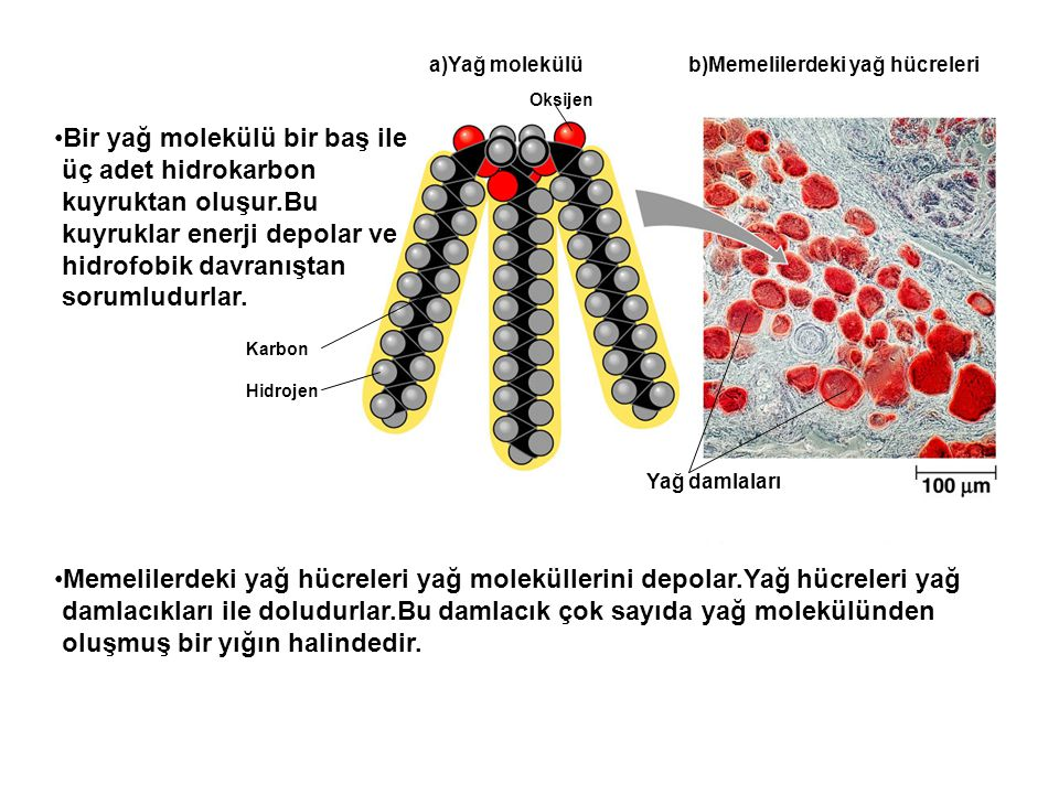 Bir yağ molekülü bir baş ile üç adet hidrokarbon kuyruktan oluşur.Bu