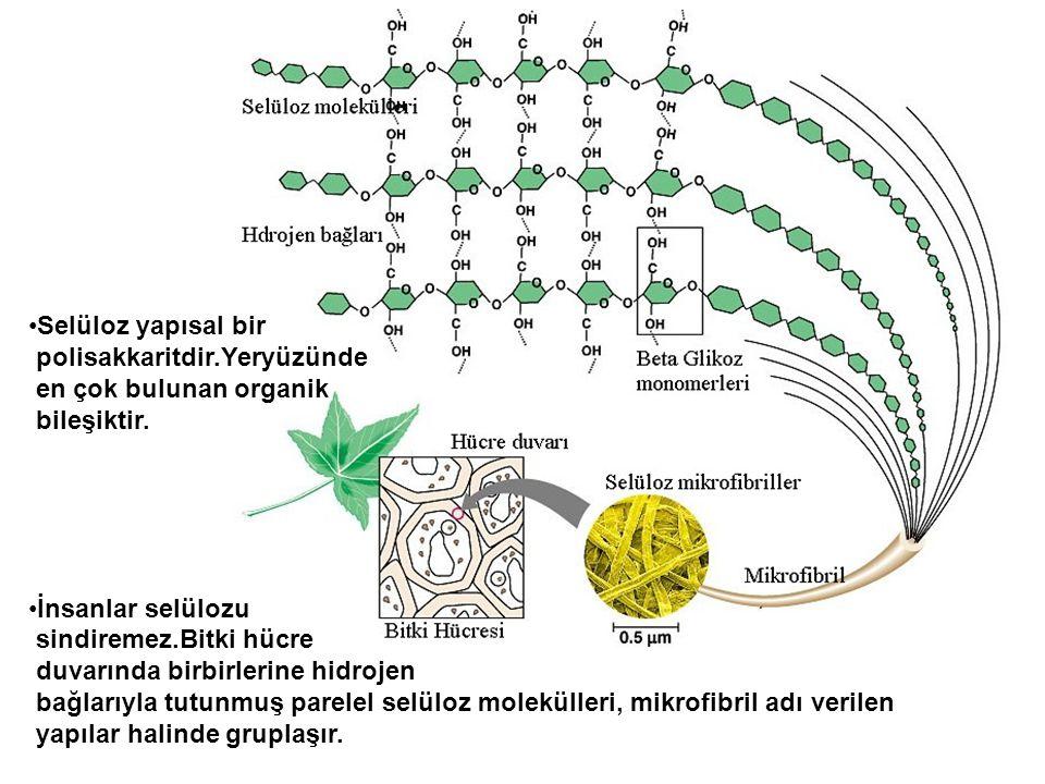 Selüloz yapısal bir polisakkaritdir.Yeryüzünde. en çok bulunan organik. bileşiktir. İnsanlar selülozu.