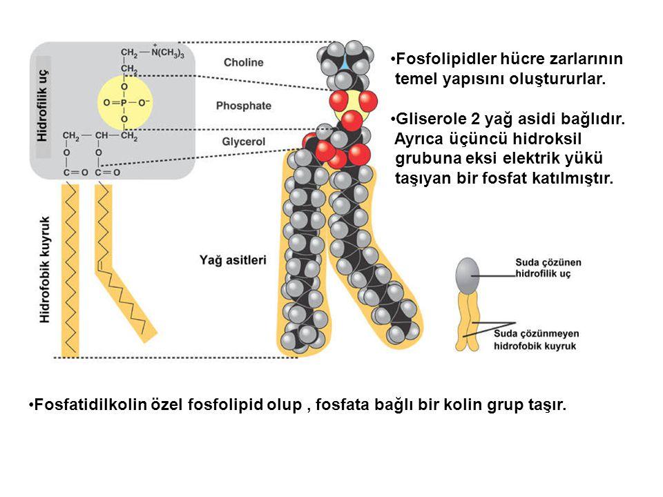 Fosfolipidler hücre zarlarının