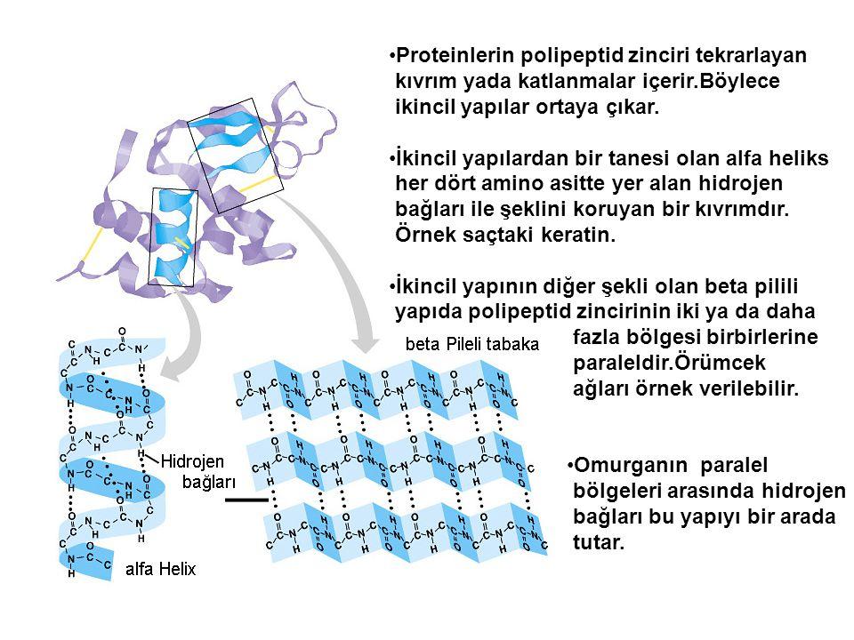 Proteinlerin polipeptid zinciri tekrarlayan