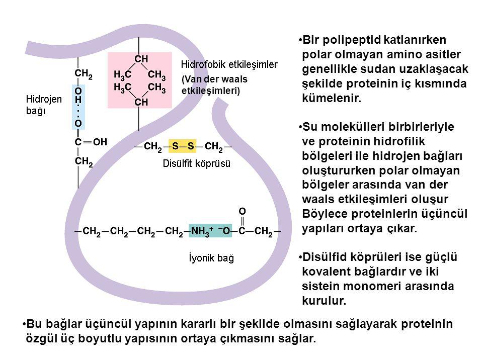 Bir polipeptid katlanırken polar olmayan amino asitler