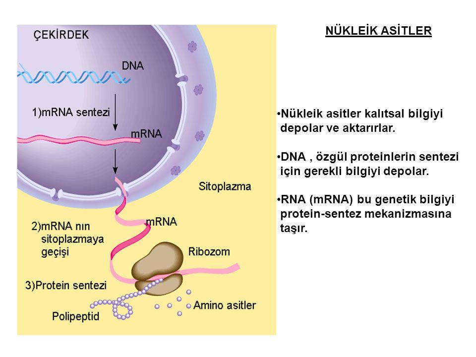 NÜKLEİK ASİTLER Nükleik asitler kalıtsal bilgiyi. depolar ve aktarırlar. DNA , özgül proteinlerin sentezi.