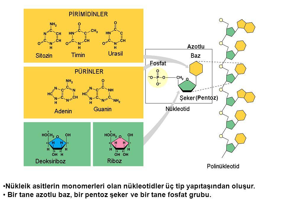 Bir tane azotlu baz, bir pentoz şeker ve bir tane fosfat grubu.