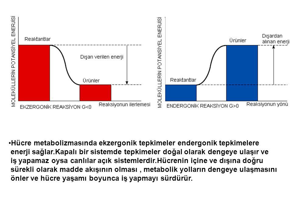 Hücre metabolizmasında ekzergonik tepkimeler endergonik tepkimelere