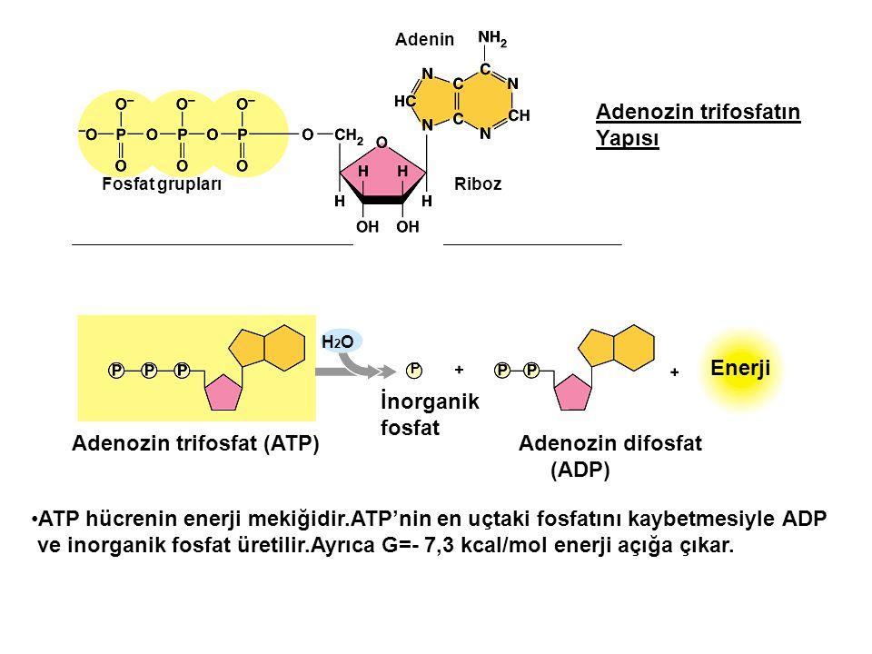 Adenozin trifosfat (ATP) Adenozin difosfat (ADP)