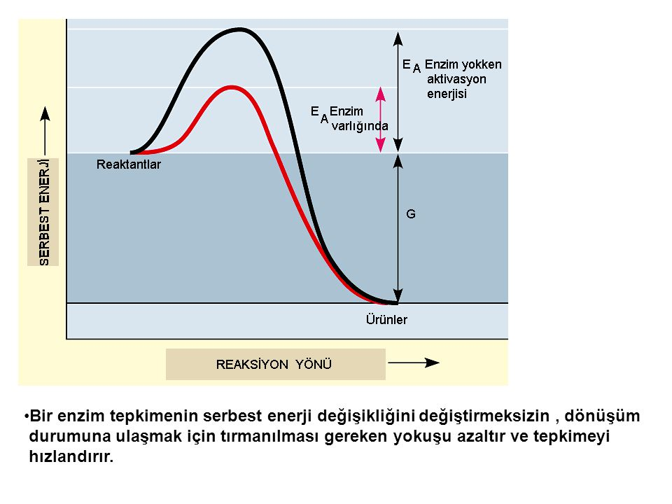 Bir enzim tepkimenin serbest enerji değişikliğini değiştirmeksizin , dönüşüm