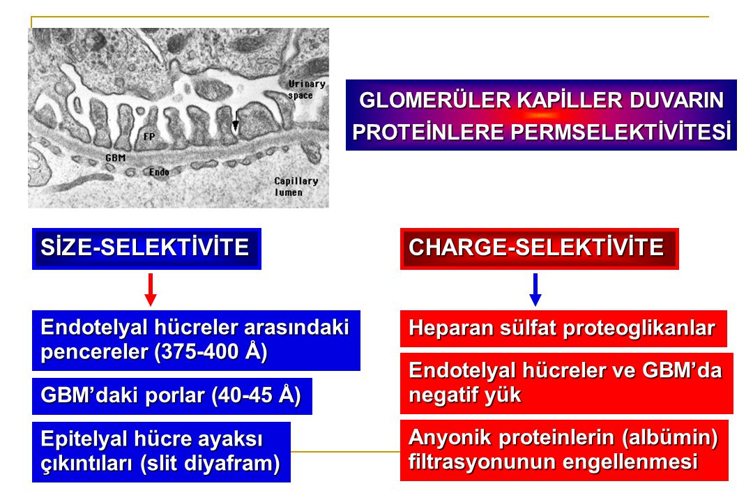 GLOMERÜLER KAPİLLER DUVARIN PROTEİNLERE PERMSELEKTİVİTESİ