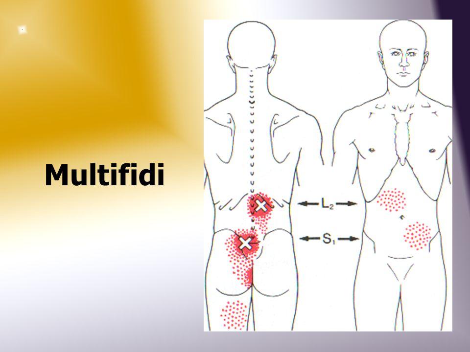 Multifidi