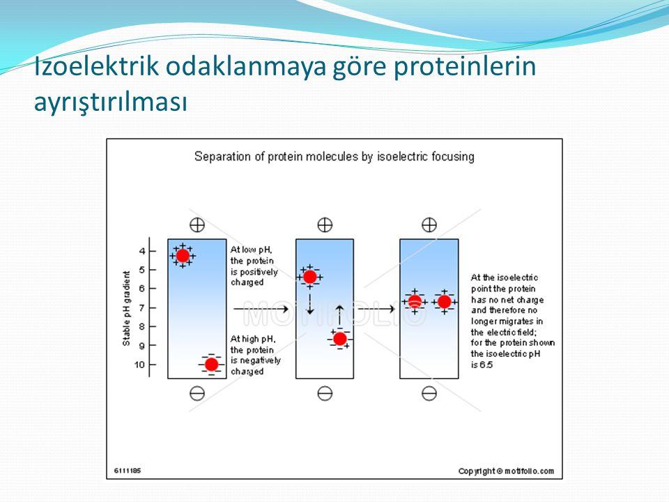 Izoelektrik odaklanmaya göre proteinlerin ayrıştırılması