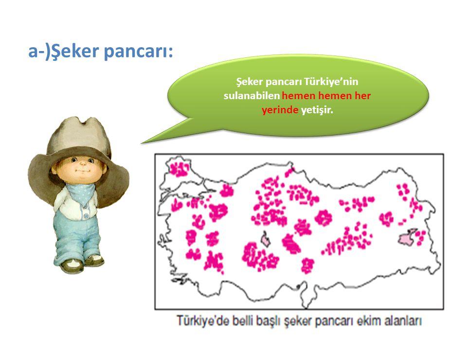 Şeker pancarı Türkiye'nin sulanabilen hemen hemen her yerinde yetişir.
