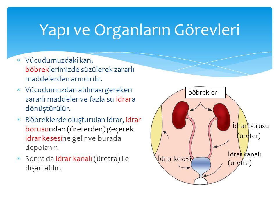 Yapı ve Organların Görevleri