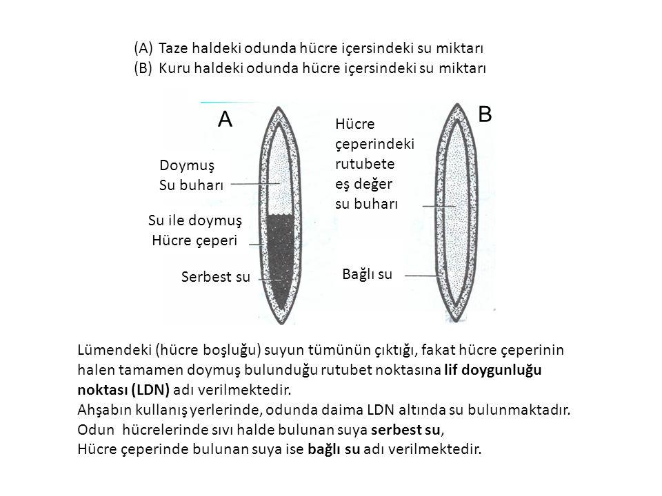 B A Taze haldeki odunda hücre içersindeki su miktarı