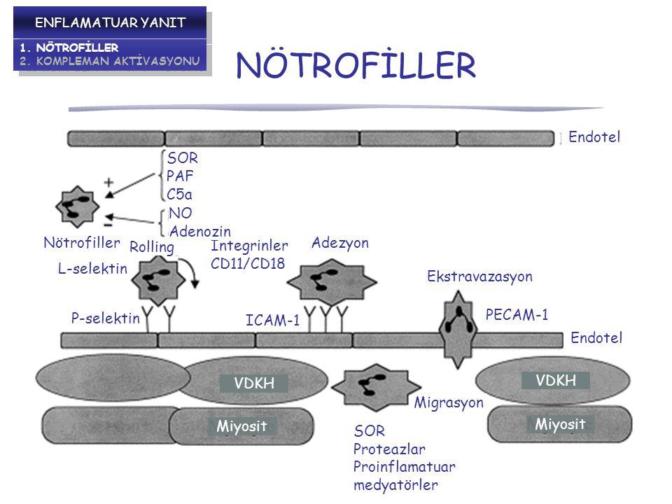 NÖTROFİLLER Endotel SOR PAF C5a NO Adenozin Nötrofiller Adezyon