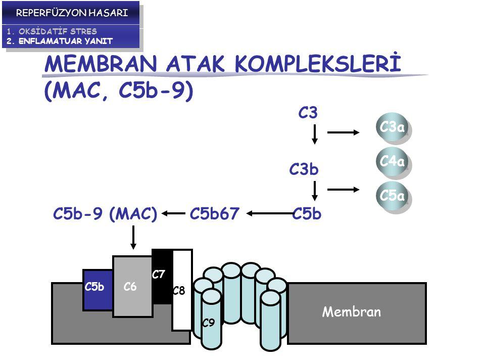 MEMBRAN ATAK KOMPLEKSLERİ (MAC, C5b-9)