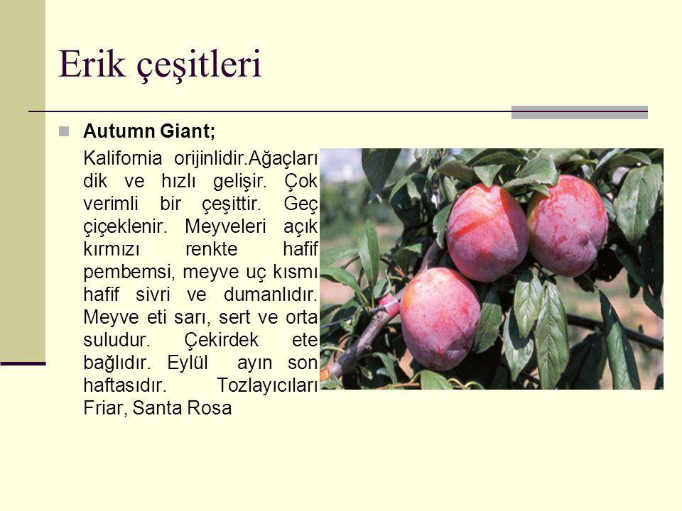Erik çeşitleri Autumn Giant;
