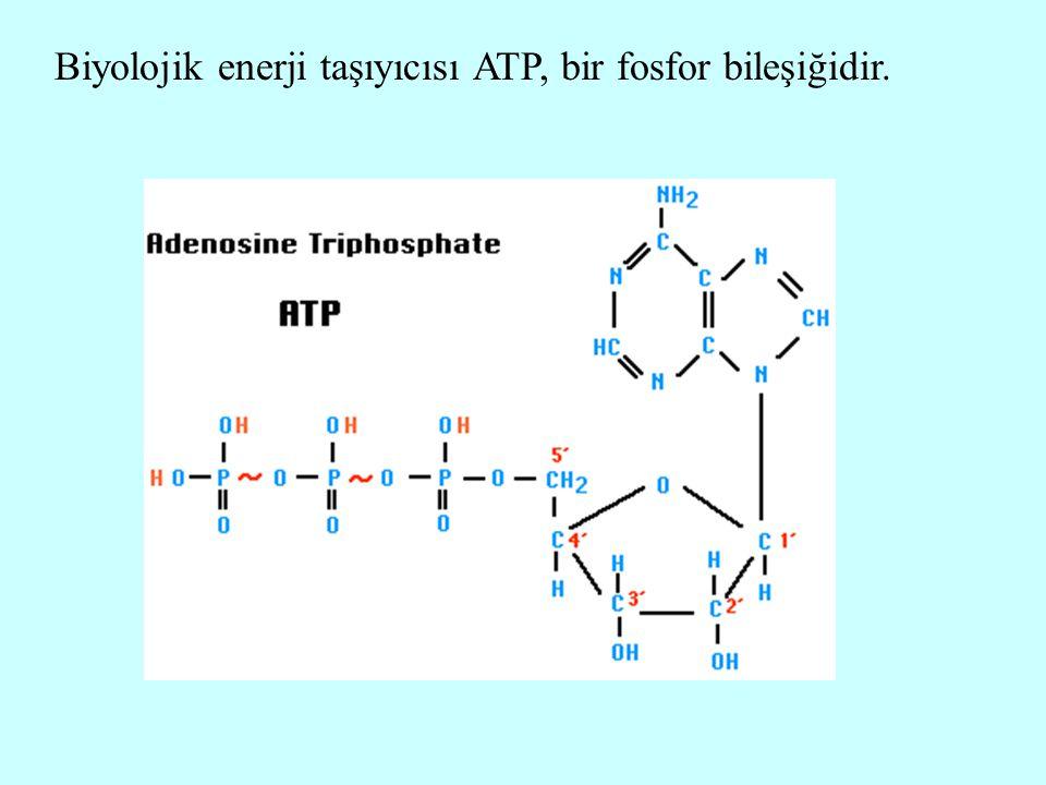 Biyolojik enerji taşıyıcısı ATP, bir fosfor bileşiğidir.